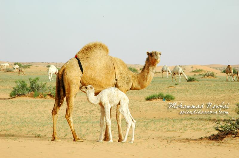 camel-family