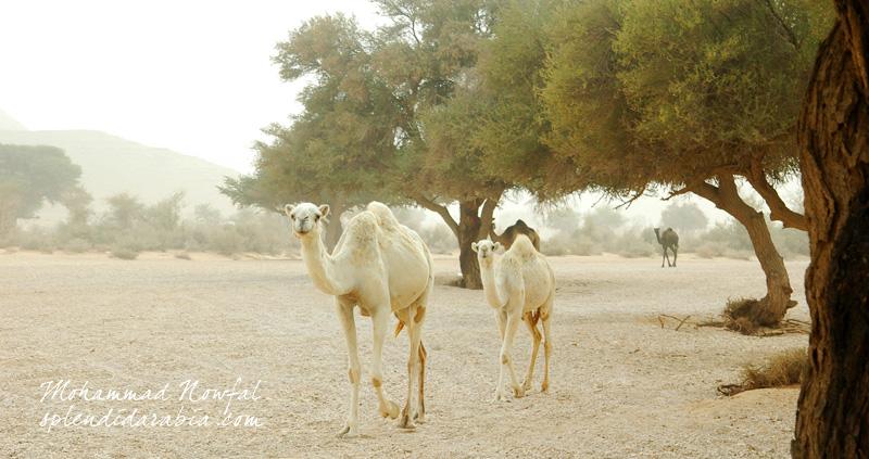 acacia-valley