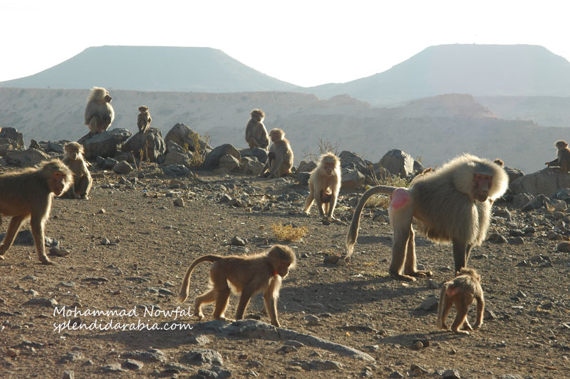 baboons-3