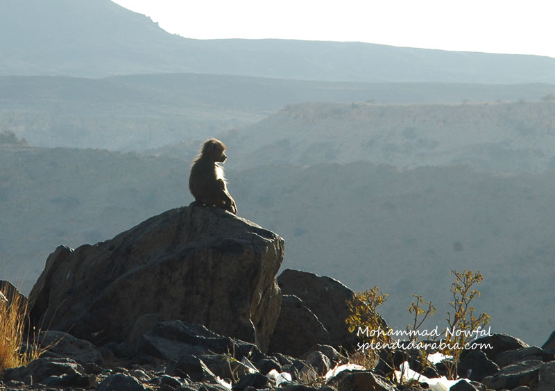 baboons-5