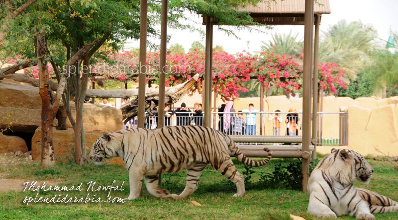 bengal-tiger-riyadh-zoo