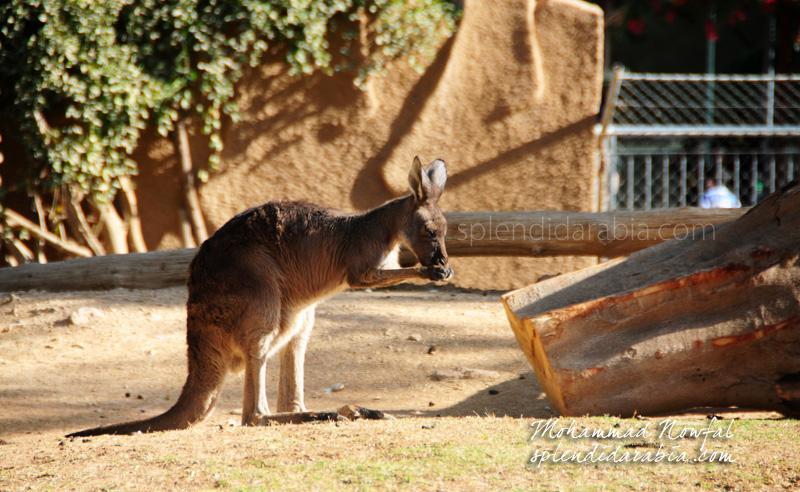 kangaroo-riyadh-zoo