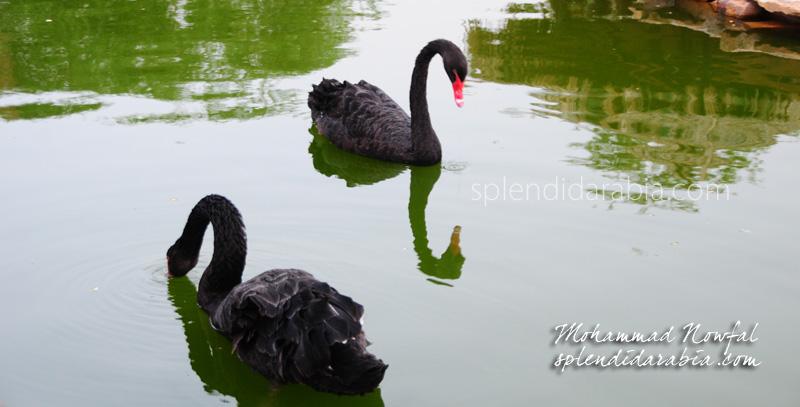 swan-riyadh-zoo
