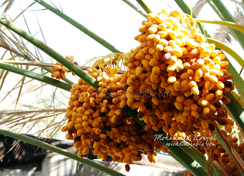 yellow-dates