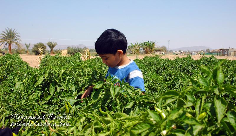 najran-farm
