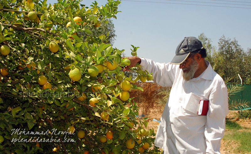 najran-orange-farm