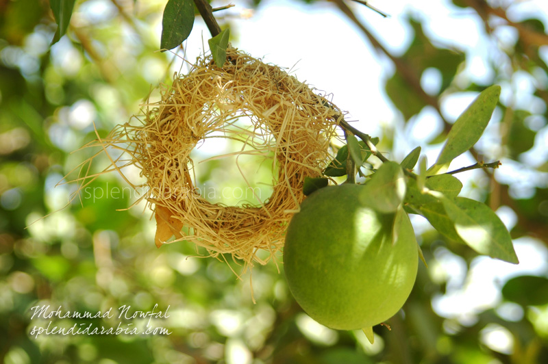 weaver-bird-nest-inmaking