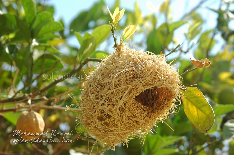 weaver-bird-nest